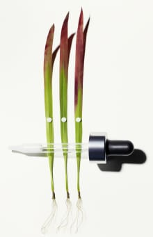 Japanese Blood Grass and Pipette